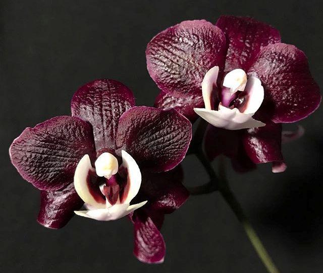 """Орхидеи сорт Phal. Kaoda Twinkle, размер 2.5"""" без цветов"""