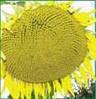 Семена подсолнечника Днестр, фр. стандарт