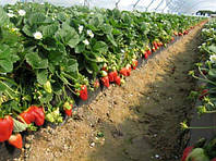 Тепличная клубника: в каких теплицах будет лучший урожай