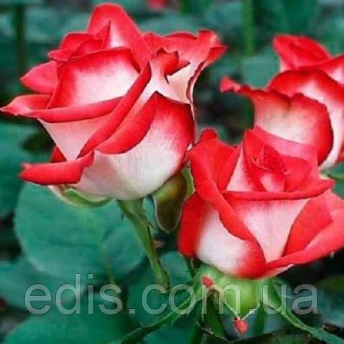 Роза бордюрна Біло-червона