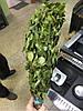 Веник береза, фото 4