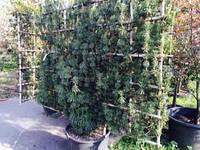 Тис ягодный Taxus baccata  (шпалера) C80 1.7x2м