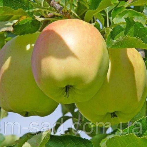 Яблуня Оріон(великий,середньо рослий,кисло солодкий)
