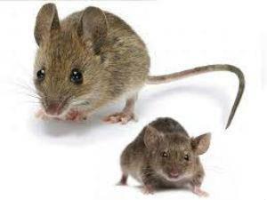 Средства от грызунов (родентициды) - от мышей и крыс.