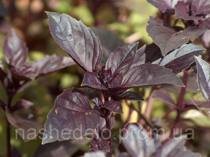 Базилик фиолетовый Арарат 50 гр.