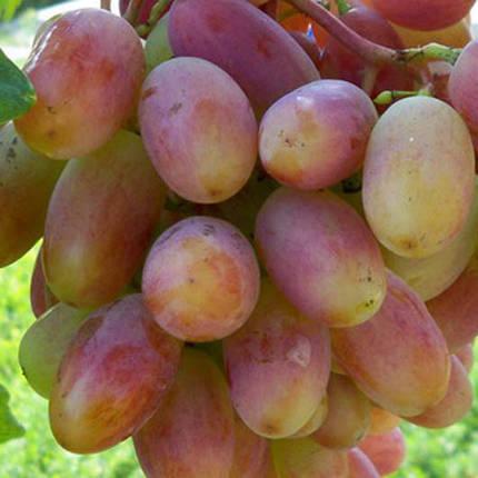 Саженцы винограда сорт Юбилей Новочеркасска, фото 2