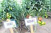 Семена томата Аламина 73-672 (Alamina RZ) F1, 1000 семян