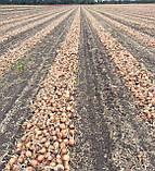 Семена Лук Алонсо F1 / Alonso F1, 250 тыс.семян, фото 2