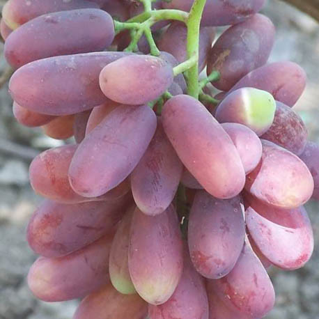 Саженцы винограда сорт Изюминка