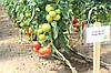 Семена томата Аттия 73-667 (Attiya RZ) F1, 1000 семян