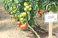Семена томата Аттия 73-667 (Attiya RZ) F1, 1000 семян, фото 1