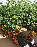 Семена томата Махитос 73-407 (Mahitos RZ) F1, 1000 семян, фото 2