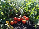 Семена томата Асвон 5000 семян, фото 3