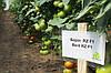 Семена томата Берил (Beril RZ) F1, 1000 семян