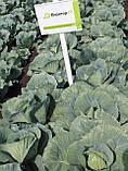 Семена капусты Блоктор F1, 2500 семян, фото 3