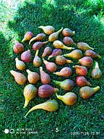 Набор семян инжира № 2