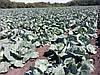 Семена капусты БРИГАДИР F1, 2500 семян (Elisem)