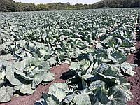 Семена капусты БРИГАДИР F1, 2500 семян (Elisem), фото 1