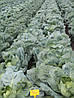 Семена капусты Галакси-Galaxy F1 - 2500 семян