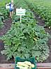 Семена кабачка Дафна F1 / Dafna F1, 500 семян