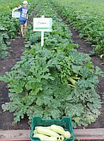Семена кабачка Дафна F1 / Dafna F1, 500 семян, фото 1