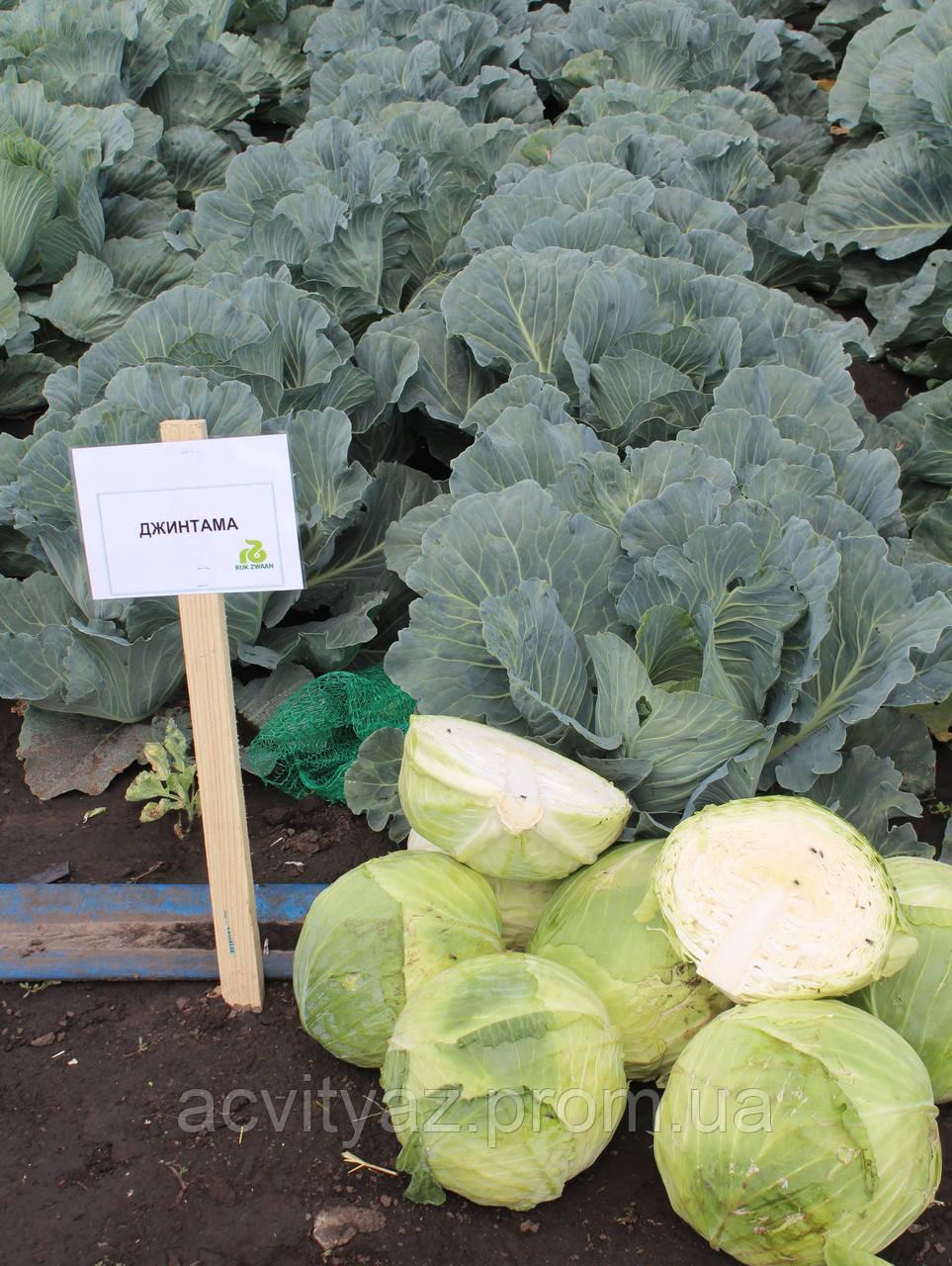 Семена капусты Джинтама (Gintama RZ) F1 90-110 дн., 2500 семян