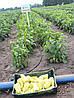 Семена перца Диментио F1, 500 семян