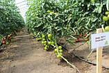 Семена томата Дофу 73-521 (Doufu RZ) F1, 1000 семян, фото 2