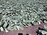 Семена капусты Зенон F1, 2500 семян, фото 3