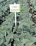 Семена капусты Зенон F1, 2500 семян, фото 4