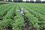 Семена Морковь Каскад F1 / Cascade F1, (1, 6-1, 8 мм), 1 млн. семян, фото 4