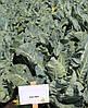 Семена капусты Каспер (Kasper RZ) F1 1000 семян, для летних посадок
