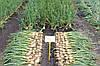 Семена Лук Катинка F1 / Katinka F1, 250 тыс. семян