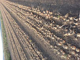 Семена лука Кенди-Candy F1 - 250 000 семян, фото 2