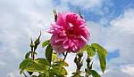 Конкрет и абсолю из розы, масло розы