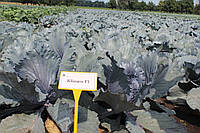 Семена капусты синей Климаро F1 / Klimaro F1, 2500 семян