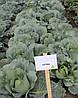 Семена капусты Лагрима (lagrima RZ) F1, 2500 семян (калиброванные)
