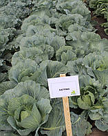 Семена капусты Лагрима (lagrima RZ) F1, 2500 семян (калиброванные), фото 1
