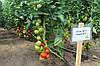 Семена томата Логур (Logure RZ) F1, 1000 семян