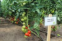 Семена томата Логур (Logure RZ) F1, 1000 семян, фото 1