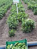 Насіння перцю Любов F1, 500 насінин, фото 3