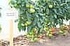 Семена томата Махитос 73-407 (Mahitos RZ) F1, 1000 семян