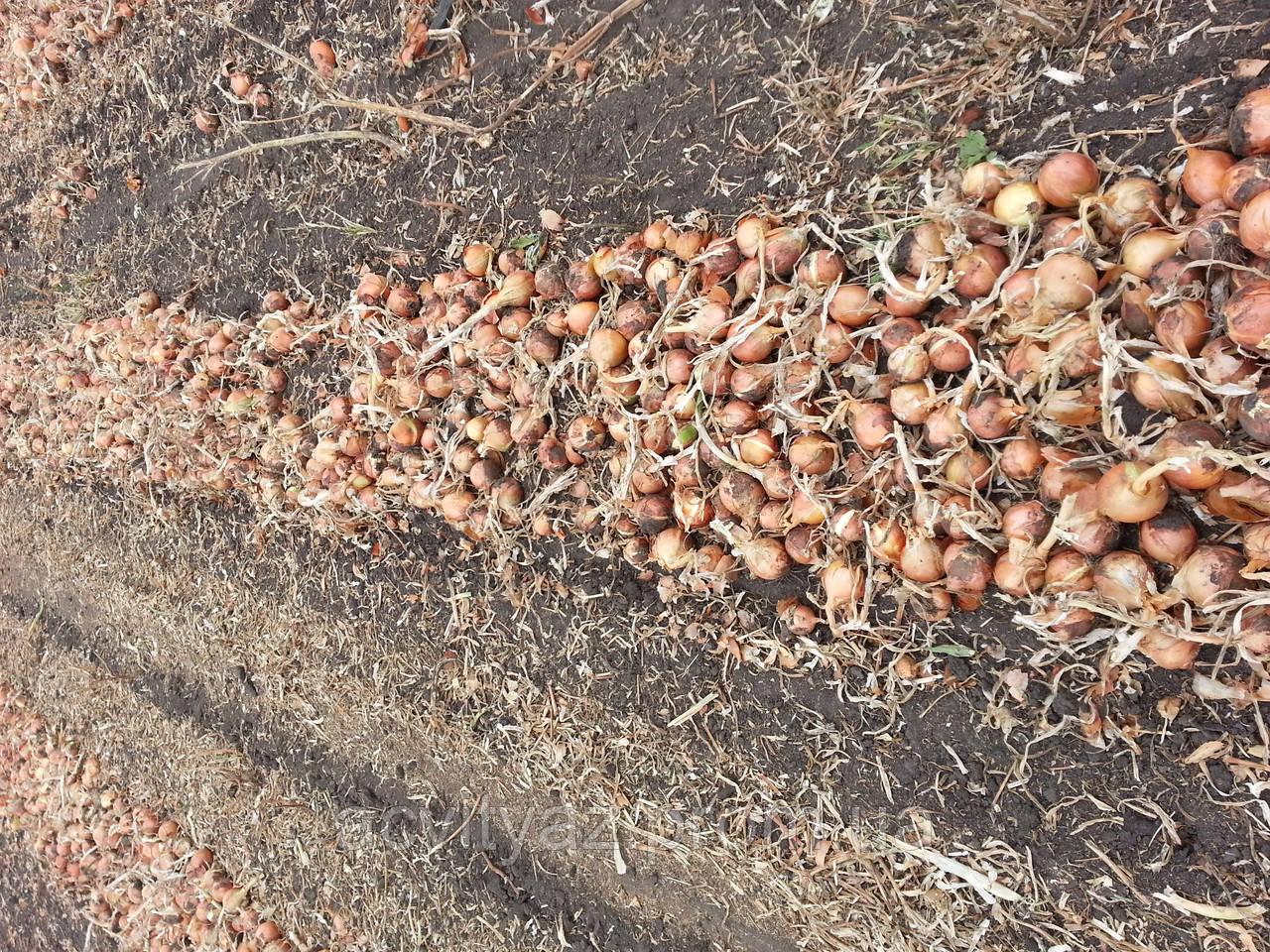 Семена Лук Мэлори F1 / Mallory F1, 250 тыс.семян