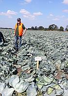 Семена капусты Муксума (30-256) (Mucsuma RZ) F1, 2500 семян 135-140 дн.