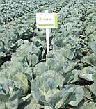 Семена капусты Новатор F1, 2500 семян, фото 3
