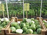 Семена капусты Сторема (Storema RZ) F1 130-140 дн., 2500 семян, фото 2