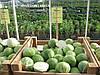 Семена капусты Сторема (Storema RZ) F1, 2500 семян (калиброванные)