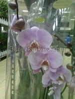 Орхидея Королевская Бело-Сиреневая