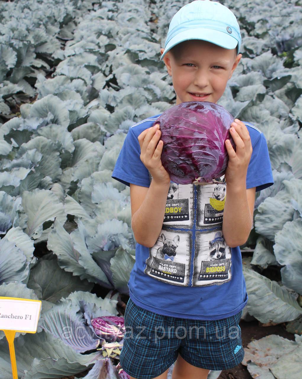 Семена капусты синей Ранчеро F1 / Ranchero F1, 2500 семян