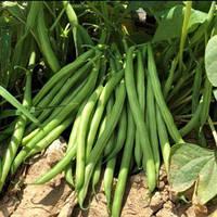 Семена фасоль спаржевая Эрсте Заден Бурмен 0.05 кг
